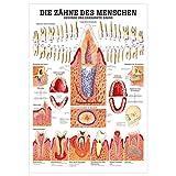 Gesunde Zähne Lehrtafel Anatomie 100x70 cm medizinische Lehrmittel