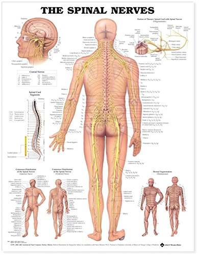 Anatomical Chart The Spinal Nerves