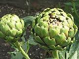 La pallina di carciofo italiano Premier Seeds Direct contiene 60 semi fini