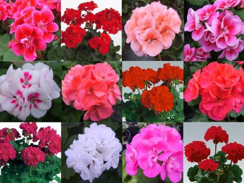 10-geranium-zonal-plug-plants-mixed-collection-plugplants4u