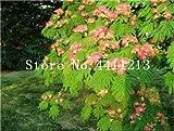 prime vista 20 stücke Goldene Mimose pflanzen Seltene Schöne Akazie Gelb Wattle Tree Pflanzen Hausgarten Blume pflanzen Edlen Bonsai Geschenk bonsai: 15