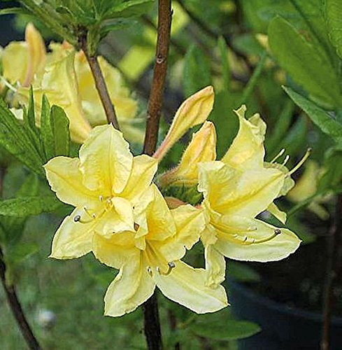 Azalee Arpege 40-50cm – Rhododendron luteum – Alpenrose