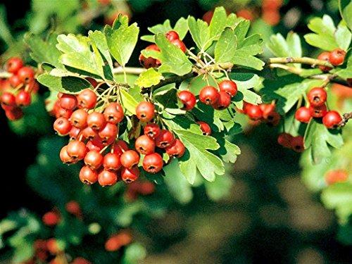 Pianta da frutto albero da esterno AZZERUOLO CRETESE h 150 cm
