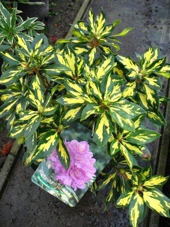 Rhododendron Blattgold 30 cm hoch im 4 Liter Pflanzcontainer