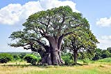 ScoutSeed Baobab 4 semillas, Boab, Adansonia Gregorii- Gran Bonsai