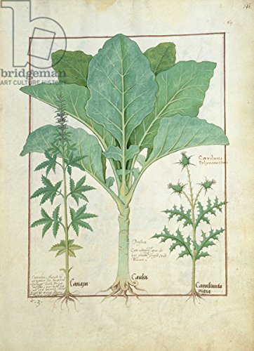 "Leinwand-Bild 50 x 70 cm: ""Ms Fr. Fv VI #1 fol.145r Cannabis, Brassica and Thistle, Illustration from the Book of Simple Medicines by Mattheaus Platearius (d.c.1161) c.1470 (vellum)"", Bild auf Leinwand"