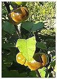 TROPICA - Melanzana rossa (Solanum aethiopicum) - 10 Semi- Africa