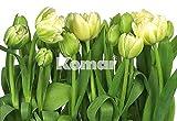 Fototapete TULIPS 368x254 weisse Tulpen grün weiss Blüten Blumen Frühling Spring