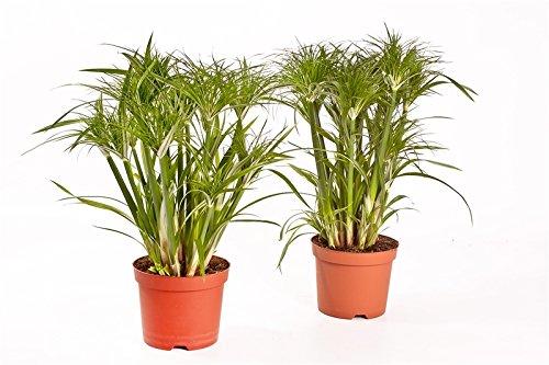 Zyperngras Cyperus, Wasserpalme, exotische Zimmerpflanze (Sorte: Percamentus, groblaubig)