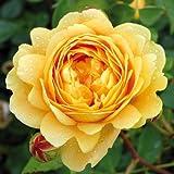 André Eve - Rosier Golden Celebration Ausgold - Pot 5 Litres - Couleur : Jaune