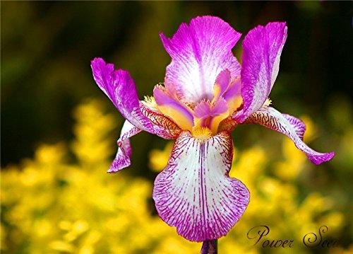 semi-iris-orchidee-specie-rare-mondo-iris-tectorum-semi-piante-dappartamento-pulire-laria-100-vero-s