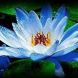 Yukio Samenhaus - 10 Stück Indische Lotusblume Teichpflanzen Exotic Blumenmeer für Ihr Garten, Pool, Teich, Topf