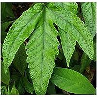 Tectaria heracleifolia - - 10 semillas