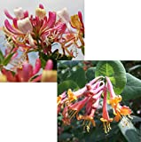 Jelängerjelieber-Set bestehend aus je 1 Pflanze Lonicera brownii Dropmore Scarlet® und Lonicera per. Belgica Select - zu dem Artikel bekommen Sie gratis ein Paar Handschuhe für die Gartenarbeit dazu