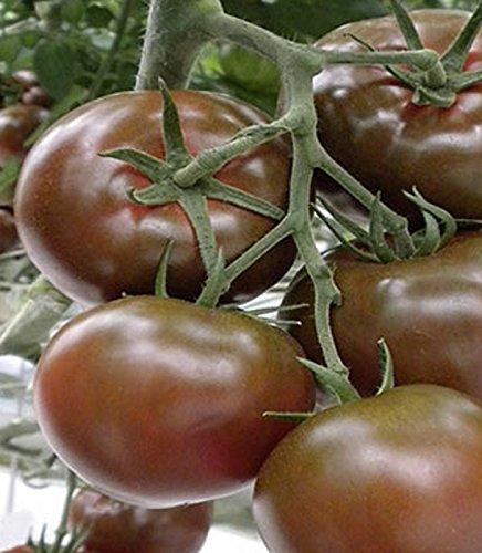 Tomaten-samen-keimung (Tomaten Schokoladen Tomate Sacher F1-Hybride Samen)
