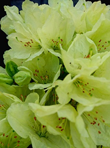 3-pack-9cm-pots-dwarf-rhododendron-wren-agm-low-growing-yellow-garden-shrub