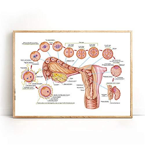 Rjjwai Menschliche Ontogenese Befruchtung Entwicklungsstadium Embryologie Drucke Arztpraxis Dekor Medizin Pädagogisches Diagramm Wandmalerei Schlafzimmer 60x90cm