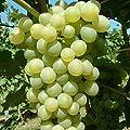 Phoenix, pilzresistenter Wein, kernarme helle Traube, gestäbt im 2 Liter Topf von Grüner Garten Shop - Du und dein Garten