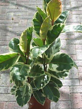 Zimmerpflanze für Wohnraum oder Büro - Ficus elastica Variegata - buntblättriger Gummibaum