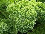 Grünkohl-Samen (300 Stück)
