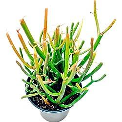30pcs / bag de la herencia Euphorbia tirucalli semillas orgánicas Euphorbiaceae Planta suculenta de Bonsai en maceta Planta fácil de cultivar