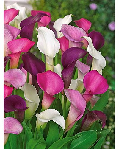 Willemse France Offre de 3 callas assortis (blanc, pourpre, rose)