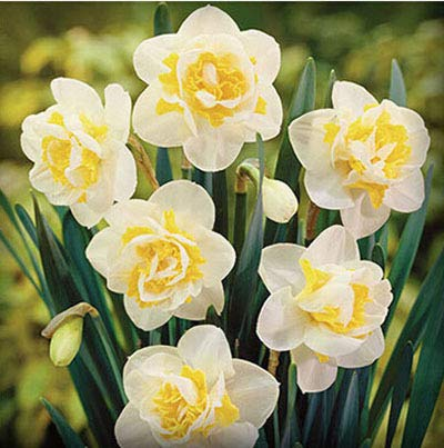 GEOPONICS SEEDS: ZLKING 100 Pcs Schöne Narzisseblume Balkonpflanzen Narzisse Absorption Narcissus Tazetta Bonsai: 2