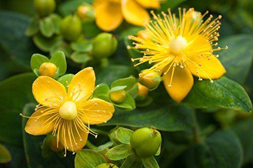 10 Stk. Hypericum calycinum - (Niedriges Johanniskraut)- Topfware 20-30 cm (Niedrige Pflanzen)