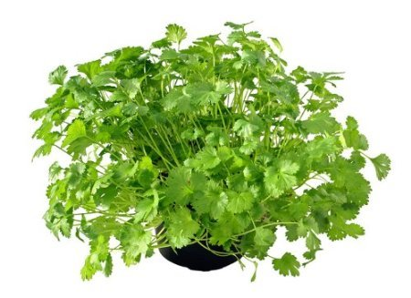 Herb Bio Coriandre aka Coriandre Graines 100+