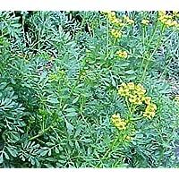 Plantas de Ruda Pack 4 Plantas PORTES GRATIS