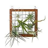 Mkouo Luftpflanzen Wand Hängenden Gitter Holzrahmen Geeignet für die Anzeige von Tillandsia Pflanze Halter Wandvasen Deko, 20x20 cm