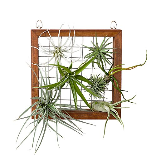 Mkouo Air Plant Frame Tillandsia Wall Display