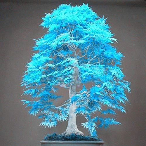 Portal Cool 30Pcs Bonsai Seeds Nano Blu cinese raro Acero casa Pot