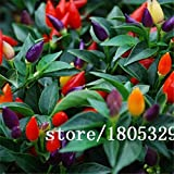 SwansGreen Green : Rainbow Chili peppers seeds 100pcs Multi color Pepper seeds Interest Mini Garden Home Plant