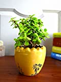 #10: Rolling Nature Good Luck Jade Plant In Yellow Ruffel Aroez Ceramic Pot