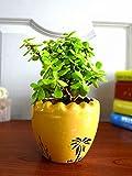 #8: Rolling Nature Good Luck Jade Plant In Yellow Ruffel Aroez Ceramic Pot