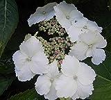 Bauernhortensie Tokyo Delight - Tellerhortensie - Hydrangea macrophylla Tokyo Delight
