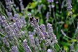 Echter Lavendel Lavandula angustifolia Topfware 5 Stück