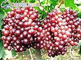 Pinkdose 50pcs sehr seltene Goldfinger Weinrebe Pflanzen Erweiterte Obst Bonsai Natur Wachstum Grape Köstlicher Fruchtpflanzen Für Hausgarten: Weiß