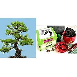 Exklusive Komplette Bonsai Anzuchtset (Japanische Schwarzkiefer)-Pflanzgefäß aus Keramik! Zehn Teile - Komplette Set in der Geschenkbox