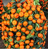 100PCS Klettern orange Samen Mini Topf Essbare Fruchtsamen Bonsai China Klettern Top-Qualität Orange Tree Seeds Kletterpflanzen
