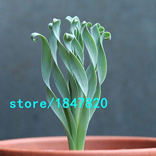 Di vendita caldo Larghezza fogliame semi di erba Spring Garden Rare pianta interessante balcone Pianta in vaso a spirale Erba Bonsai Semi
