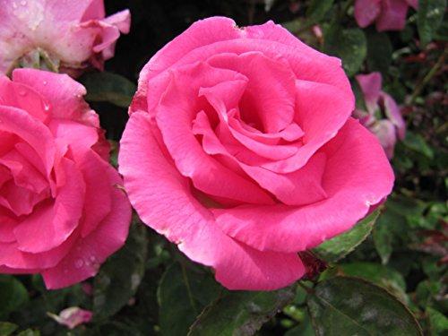 ZEPHIRINE DROUHIN - 5.5lt Potted Climbing Garden Rose - Fragrant, Deep Pink, Repeat Flowering Blooms - Thornless