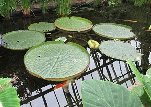 Santa cruz water lily is a tropical species of flowering plant .: Victoria cruziana (English Edition)