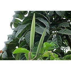 Shopmeeko ^^ Zierpflanze Spathodea Campanulata ^^ 50pcs / bag, weit verbreiteter afrikanischer Tulpenbaum ^^, Nandi Flame Fountain Tree ^^