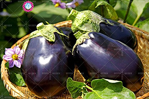 11.11 Big Promotion! 100 pcs / lot géant graines d'aubergine violet jardin graine légume vert et maison plante herbe organique 1