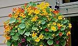 Pinkdose® Pinkdose Blumensamen: Kapuzinerkäse Kletterpflanze Pflanzen - Terrasse Garten Samen (7 Packete) Gartenpflanze Samen von