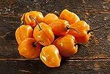 seekay Pimiento Picante - Habanero Naranja - Aprox 120 Semillas