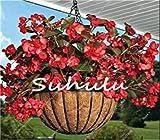 Fash Lady 100 Stücke Bonsai Begonie Samen Hybrida Voss Laternen Blumen Begonie Malus Spectabilis Chinesische Dekorative Bonsai Garten Blumen 19