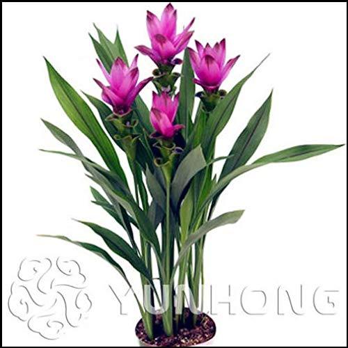 Portal Cool 100Pcs Curcuma Alismatifolia Samen Kräuterpflanzen Leicht Garden Fresh New S G To Grow